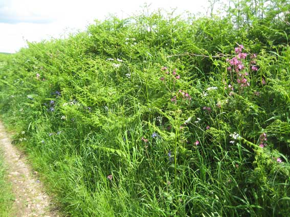 Hedgerow-with-flowers